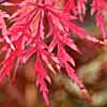Acer Palmatum 'Autumn Fire'