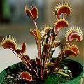 Lithops & Dionaea muscipula Di-01